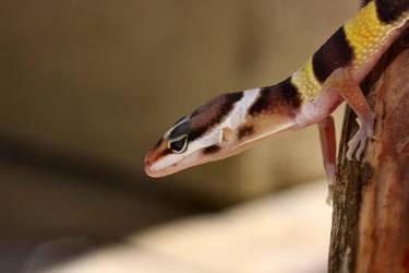 Leopard Gecko Acrobat by Caloxort
