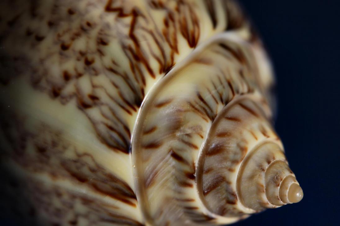 Oliva spicata Swirl by Caloxort