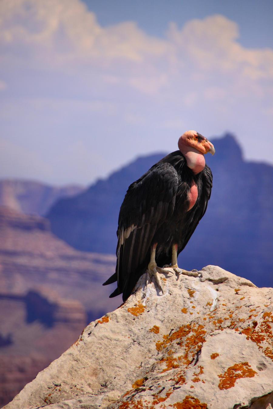 Rim Shop Near Me >> California Condor 1 by Caloxort on DeviantArt