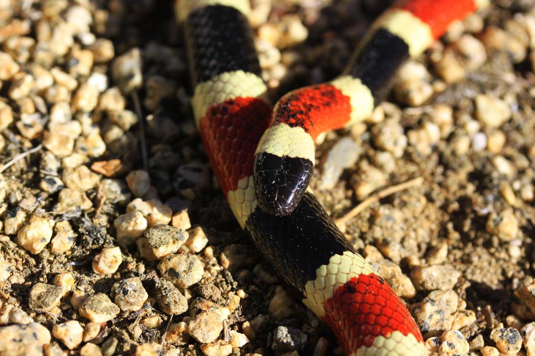 Arizona coral snake 01 by Caloxort