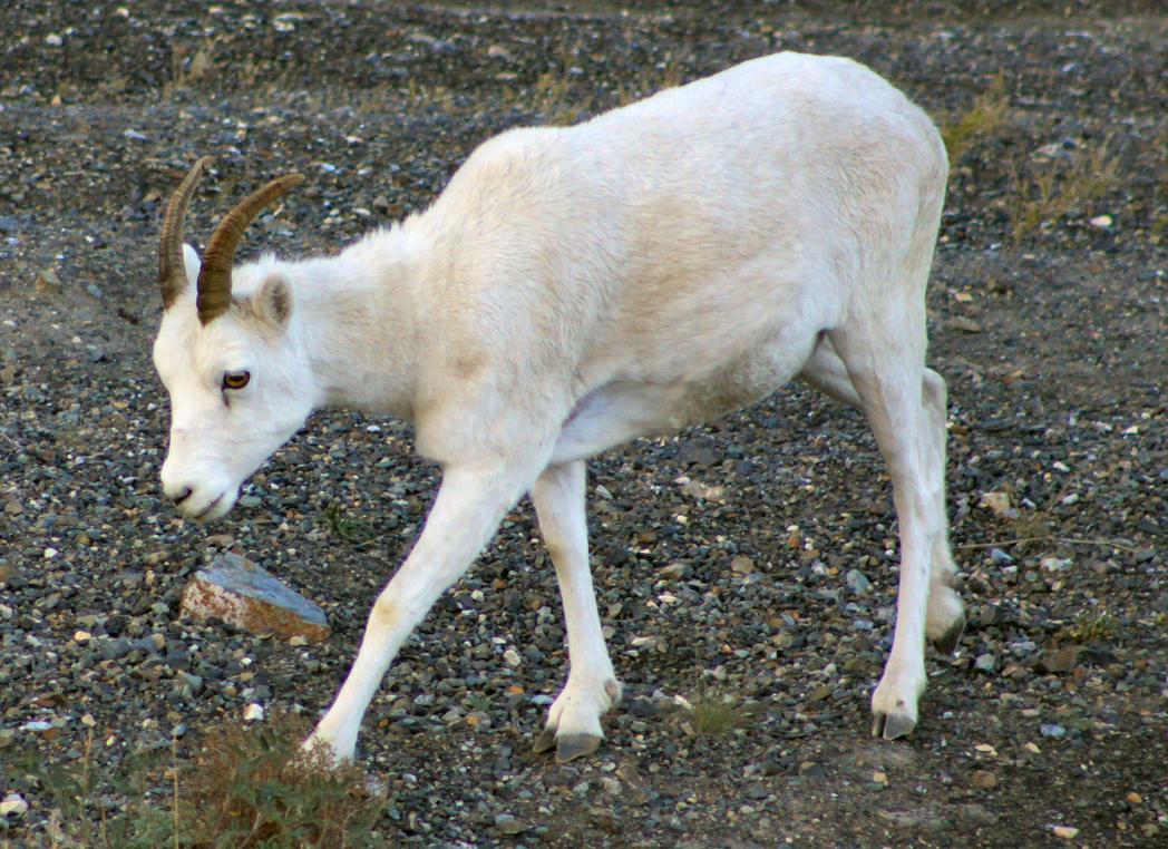 Dall Sheep (Ovis dalli) at Kluane Lake, YT by Caloxort