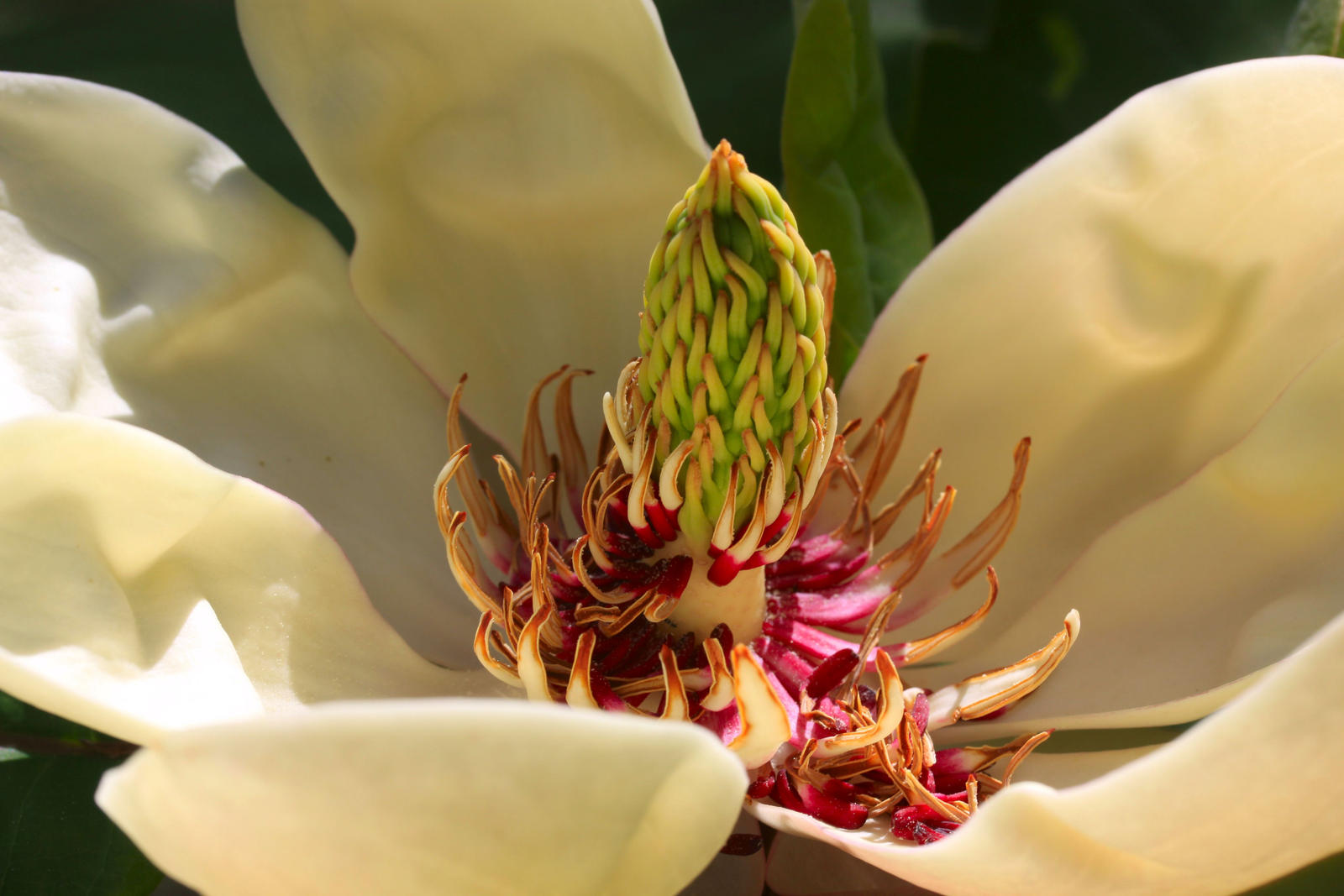 Magnolia obovata (Japanese Bigleaf Magnolia) by Caloxort