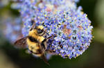 Bluebush Bee by Caloxort