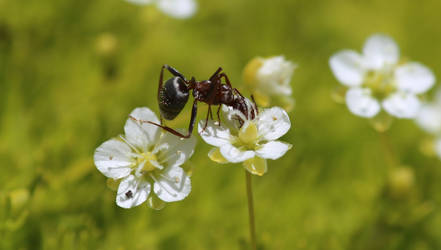 Ant Acrobat by Caloxort