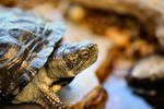 Speedy the Pond Turtle by Caloxort