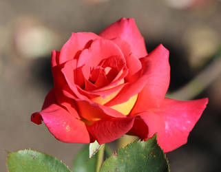 Rosa 'Risque' by Caloxort
