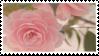 Pink Rose | Stamp