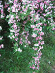 Flowerbush2