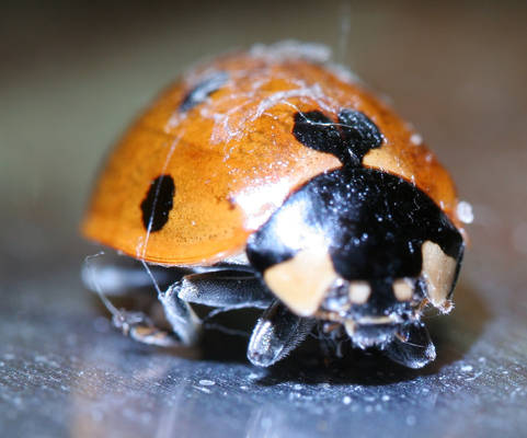 dead ladybird
