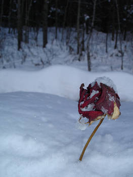 Last Rose of Winter