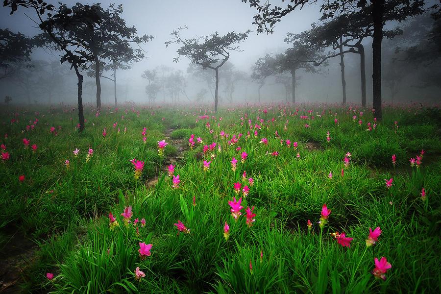 Siam Tulip by porbital