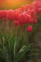 Morning Tulip