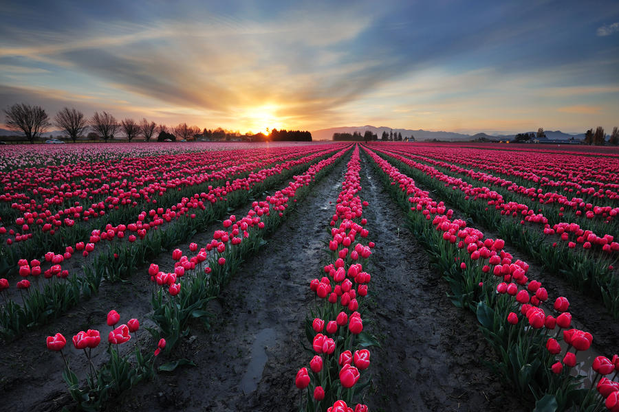 Tulip field by porbital