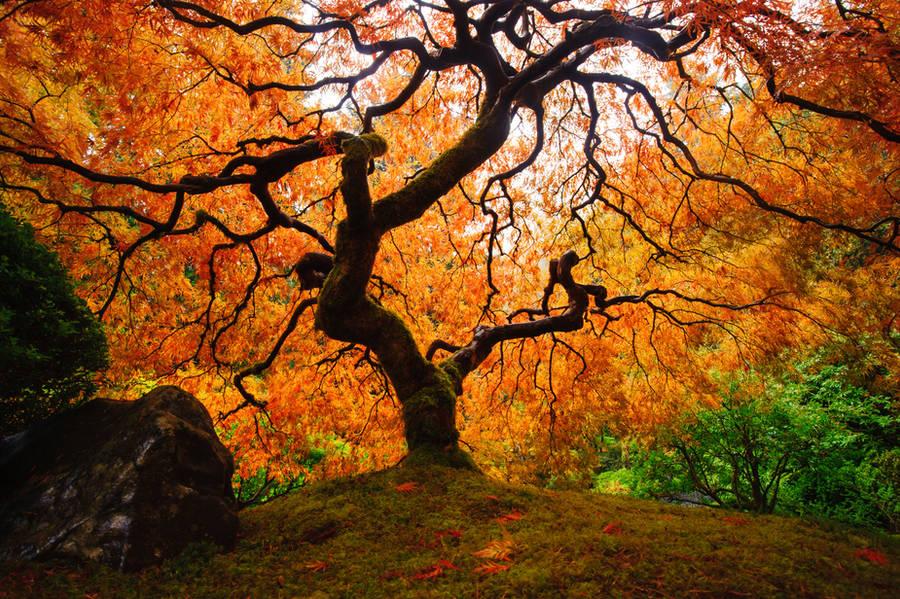 Maple tree by porbital