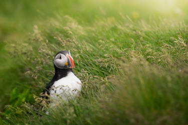 Puffin by porbital