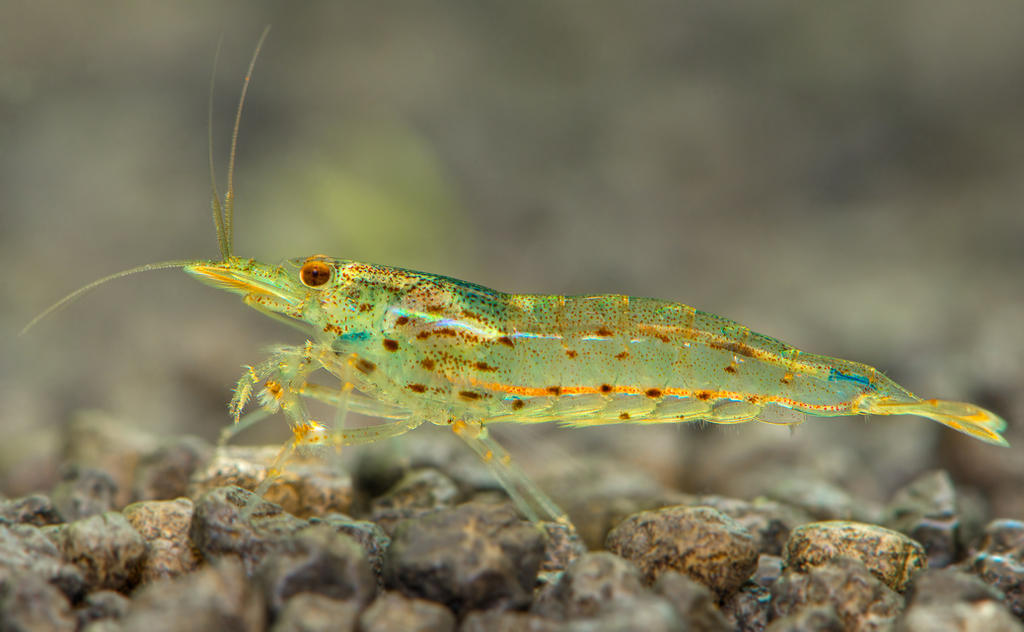 Babaulti zebra shrimp by dack99