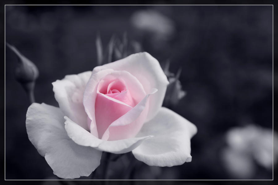 Just a rose by morglin