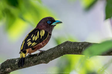 Banded Broadbil by uzairar
