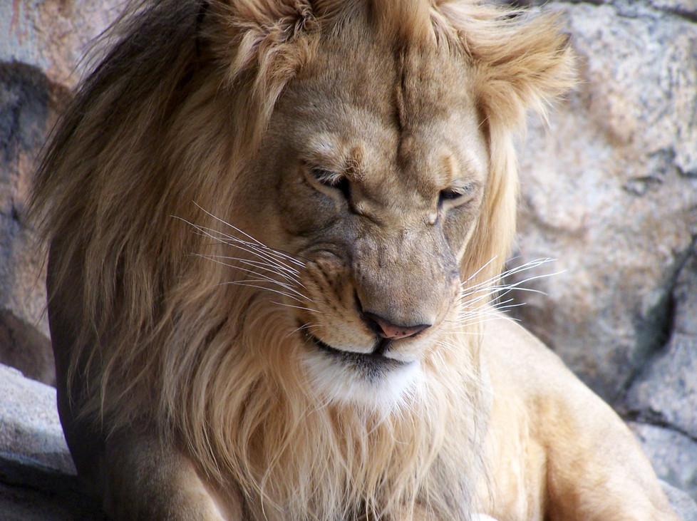 Lion 1 by misschix0r