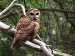 Subadult Spotted Owl