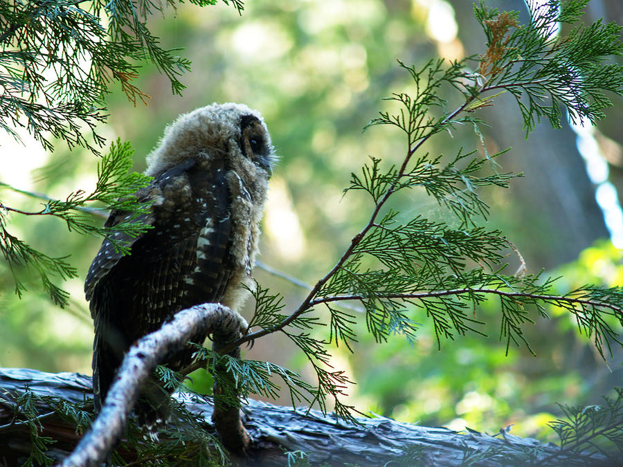 California Spotted Owl Juvi by invisiblelife