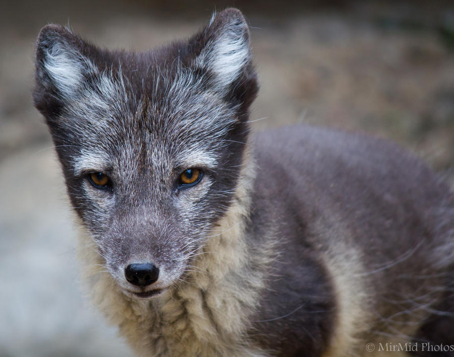 Arctic Fox by invisiblelife