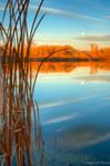 Reeds at Riverbend