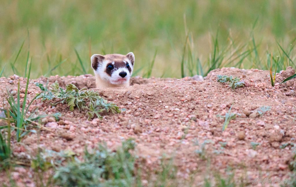 Black-footed Ferret by invisiblelife