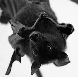 black bat by vampirebat523
