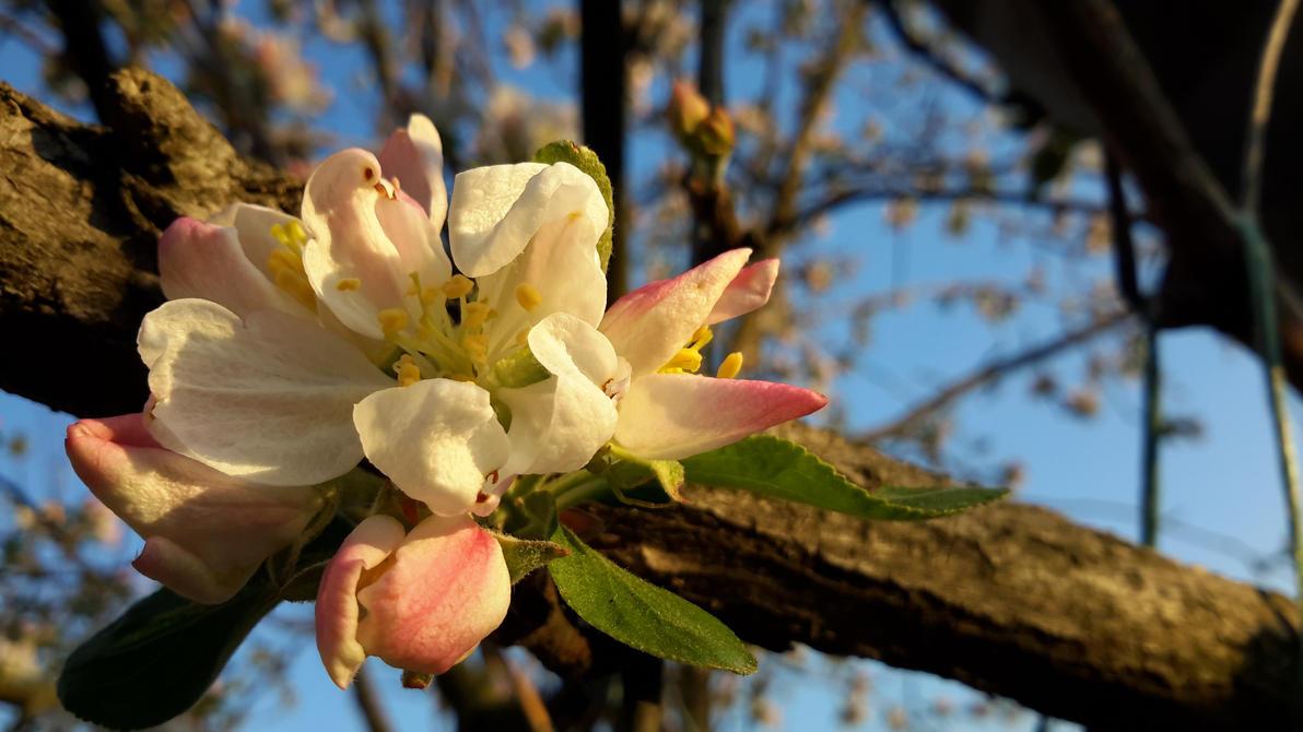 Apple flowers by SorinMares