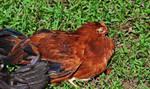 Dead chicken? by Zanora-zara