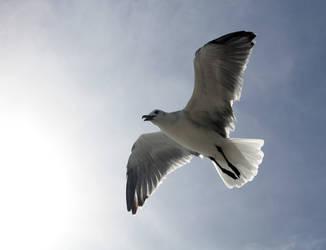 Seagull by Zanora-zara