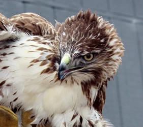 Hawk 1 by Zanora-zara