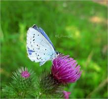 Blue butterfly by liftangel