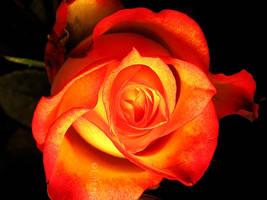 Rosa ignea by liftangel