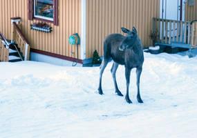 Urban moose