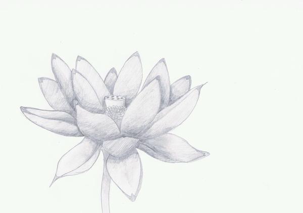 Lotus Flower Sketch by VenciVidiVici on deviantART
