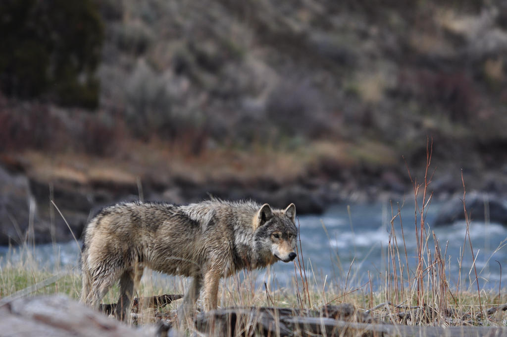 Grey-wolf-wildlife-yellowstone-national-park by black-rose-red