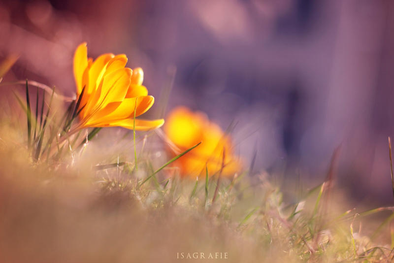 Crocuses by Isagrafie