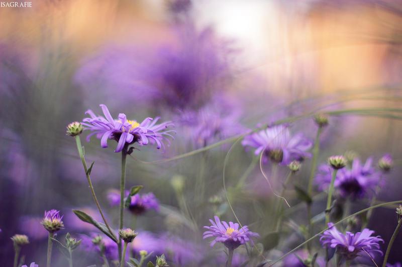 Purple by Isagrafie