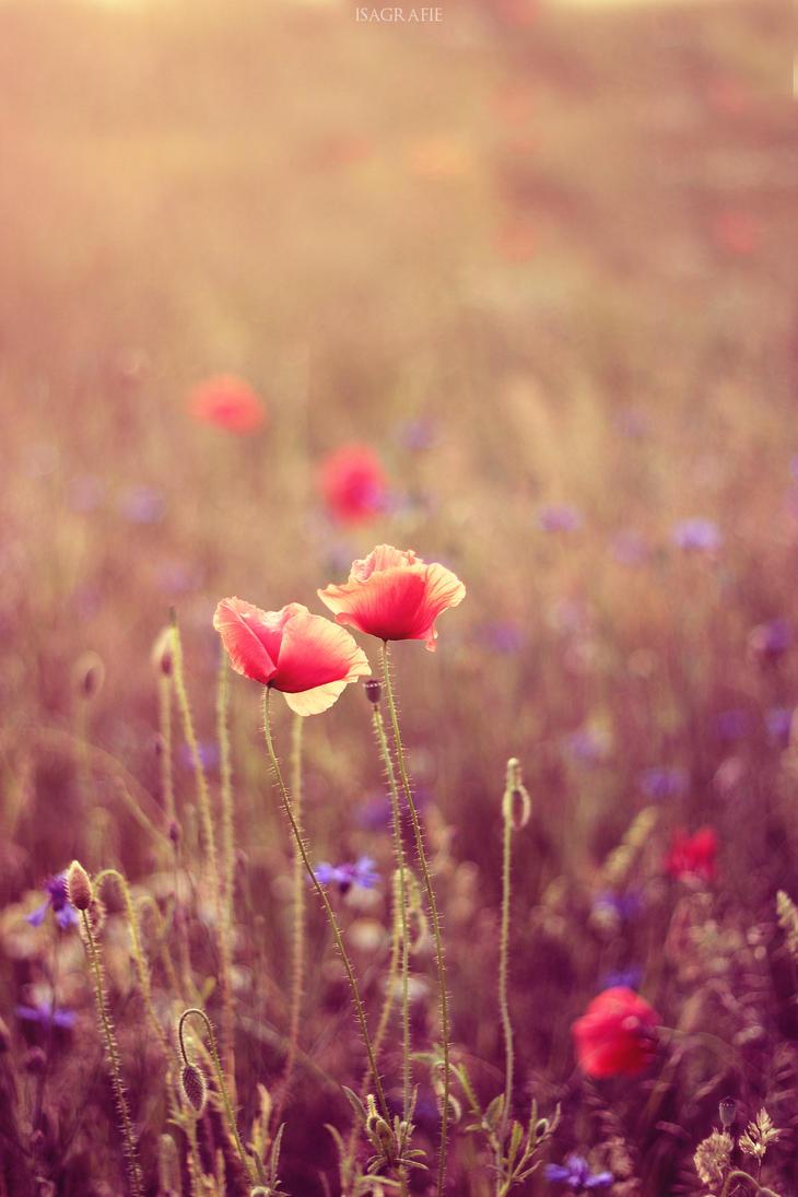 sunshine poppies by Isagrafie