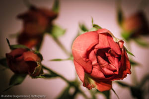 Red Roses by DrAndrei