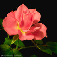 Pink Rose by DrAndrei