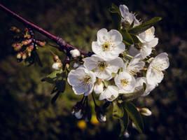 Blossom by DrAndrei