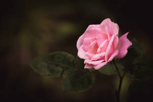 Delicate Pink by DrAndrei