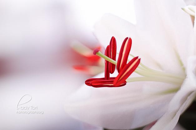 Day Twenty-three - Lillies by Lady-Tori