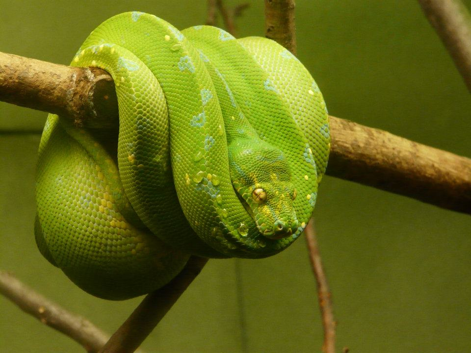 Green Tree Boa 04 by Unseelie-Stock