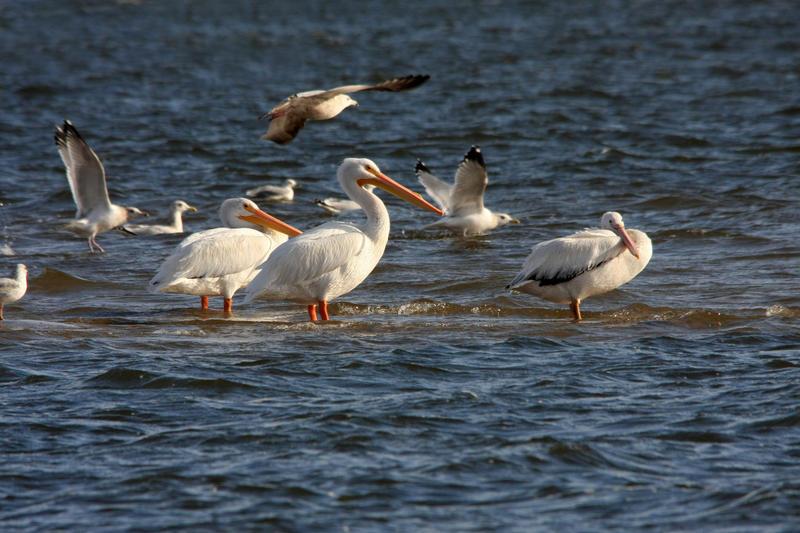 Wintering Pelicans by olearysfunphotos