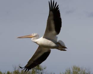 Great White Pelican by tonysphotos