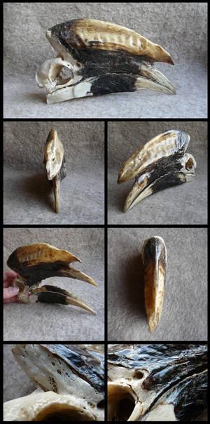 White-thighed Hornbill Skull #1